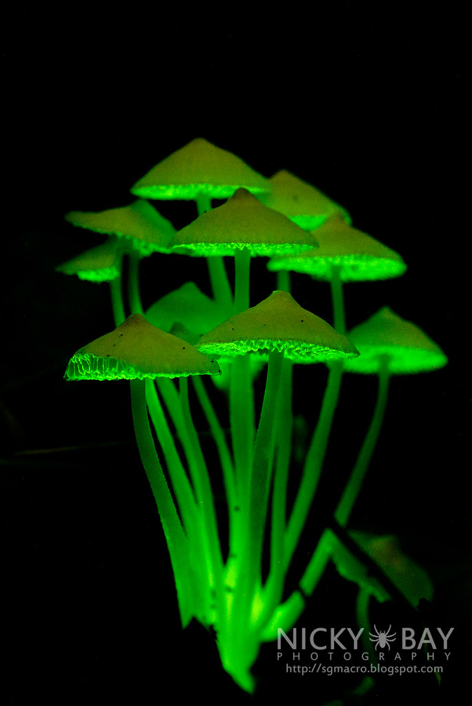 bioluminescence in fungi Chosen as 'picture of the week' like the bioluminescent fungi, there are a lot of organisms that are best seen and appreciated under the cover of darkness.