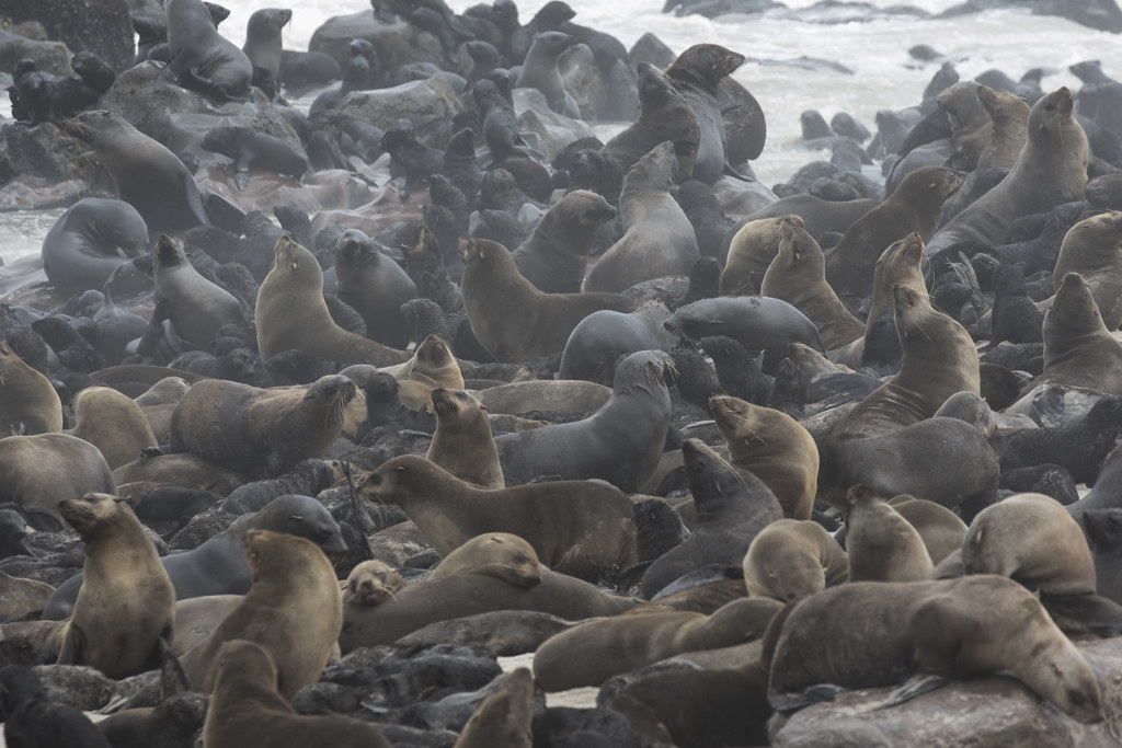 Cape Fur Seal  Cape Cross