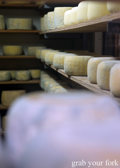 Molds on whole wheels of cheese at Bruny Island Cheese Co on Bruny Island in Tasmania