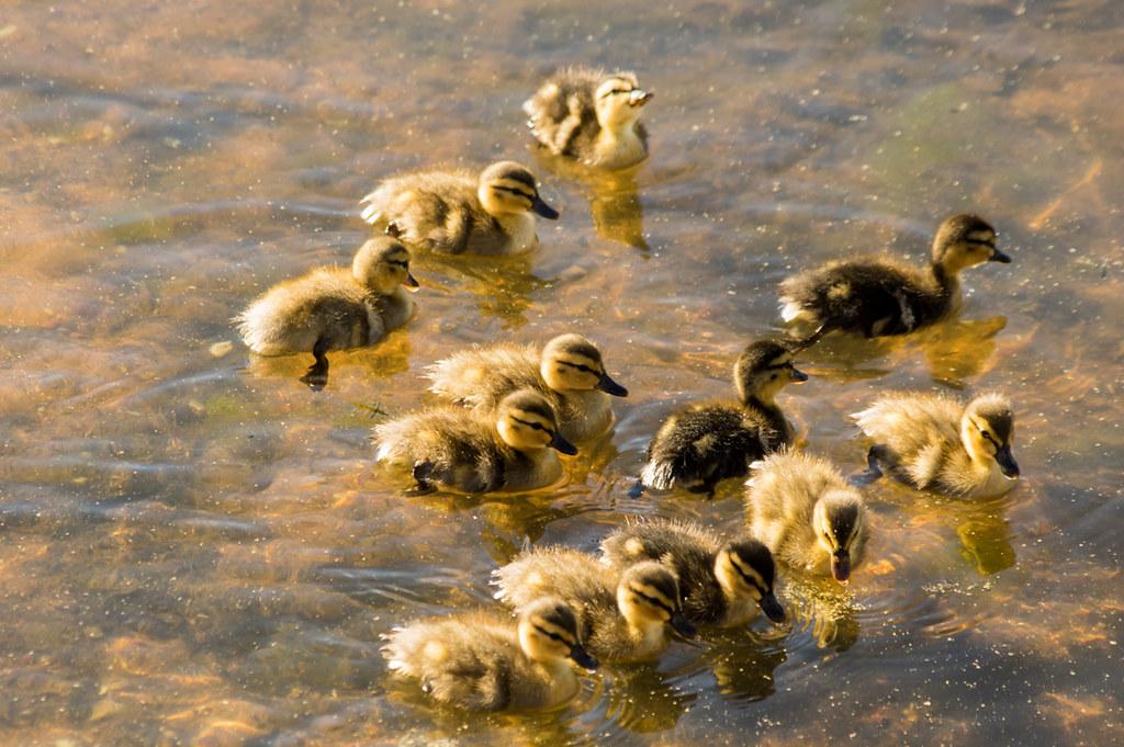 12 ducklings...