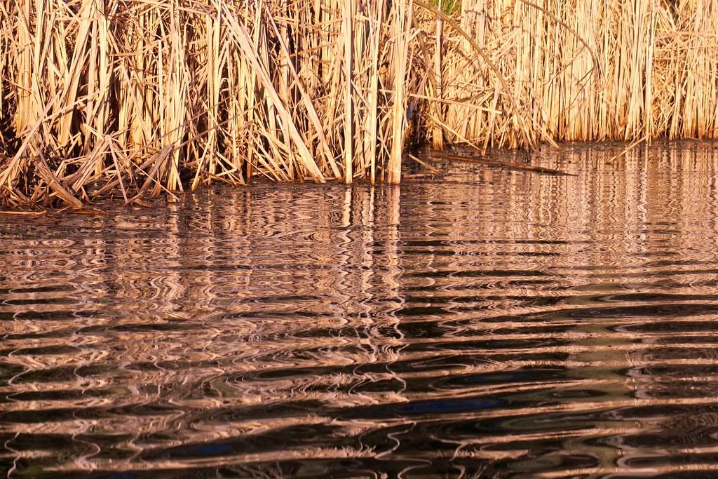Golden Sedges Trillium Pond Cornwall Ontario Deanspic Flickr