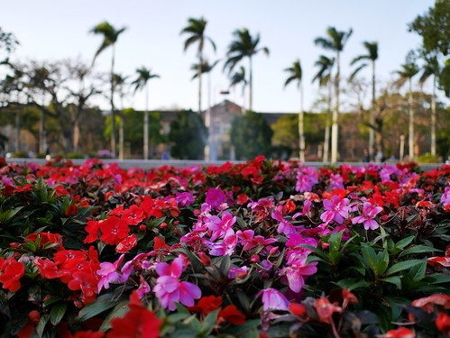 赤い花とピンクの花と台湾大学文学院とヤシの木