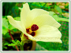 Hibiscus-like flower of Abelmoschus esculentus (Lady's Fingers, Okra, Gumbo), 18 Nov 2011