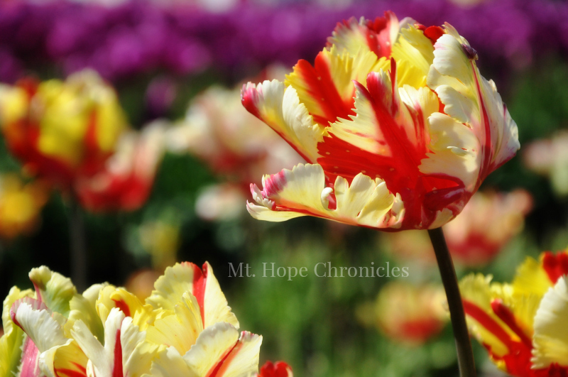 Tulip @ Mt. Hope Chronicles