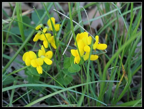 Cytisophyllum sessilifolium (= Cytisus sessilifolius) - cytise à feuilles sessiles  34154781035_a171c45e52