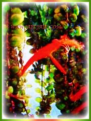 Columnea scandens L. variegata (Goldfish Plant, Flying Goldfish Plant) with goldfish blossoms and pendulous stems, 26 April 2017