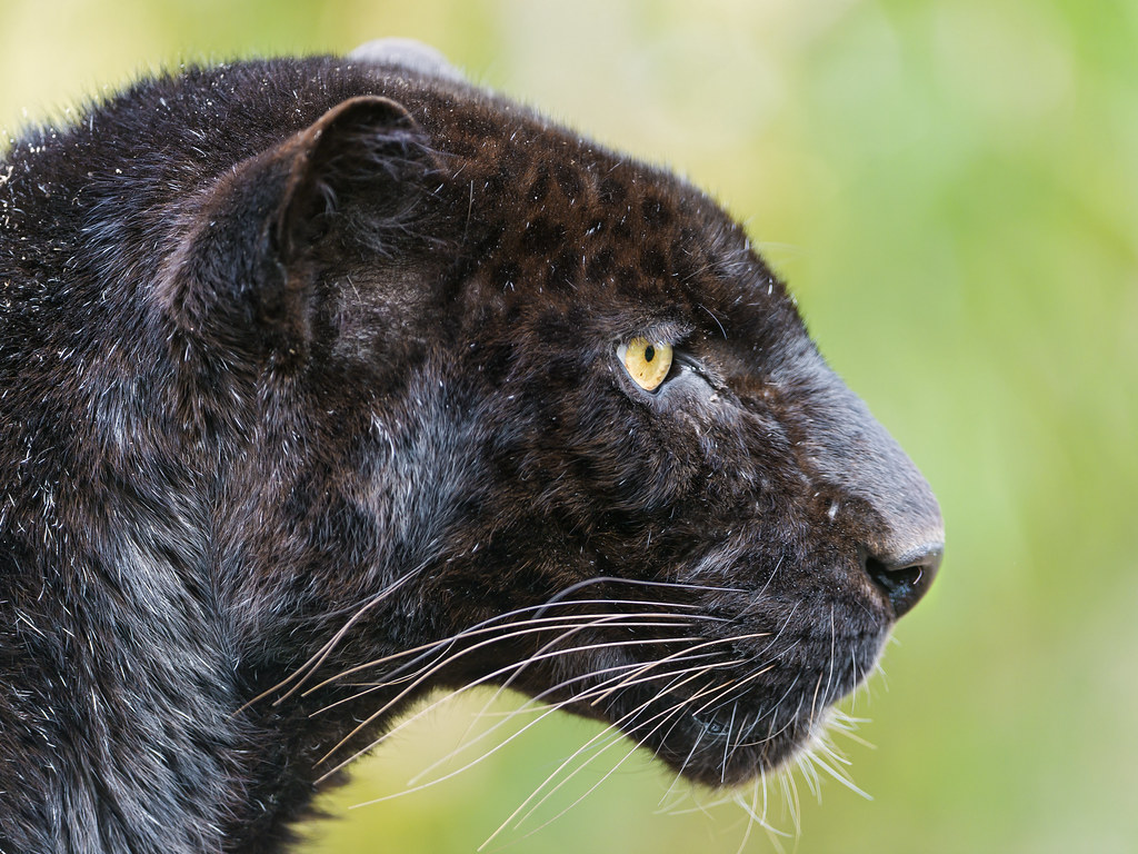 Profile of a black leopard | I really like this profile ... Black Panther