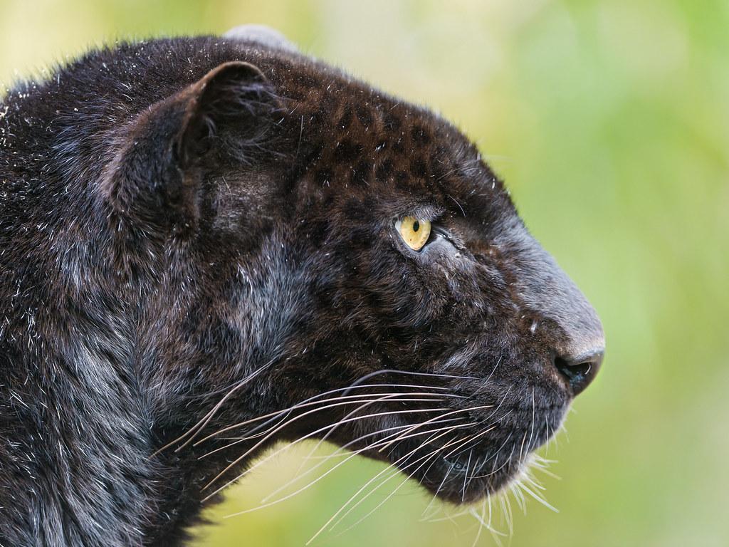 Big Black Cat In Dreams