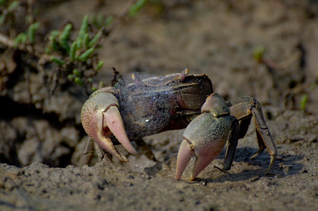 Cangrejo granulado macho neohelice granulatus frente a for Intendencia maldonado