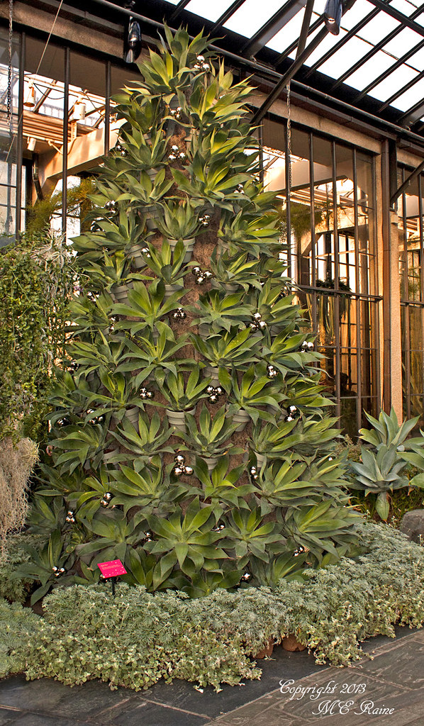 ... Blue Flame Agave Pots Christmas Tree At Longwood Gardens Of Kennett  Square, PA | By