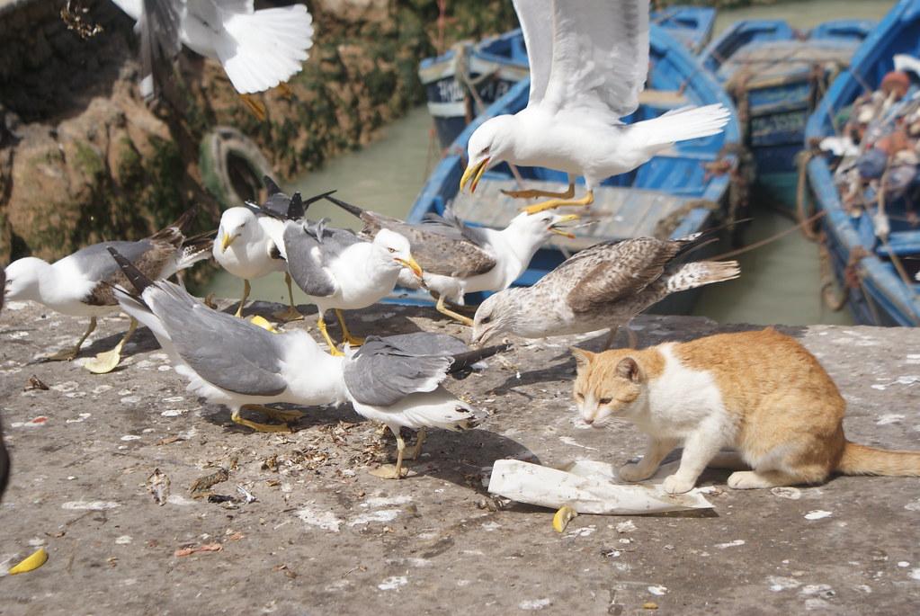Métaphore parfaite : Le chat c'est les Portugais venus discrètement (mais pas trop) s'installer, les mouettes ce sont les habitants du coin.