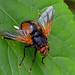 Tachinidae sp. - a parasitic fly