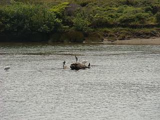 041 Vogels onderweg naar Goat Rock State Beach