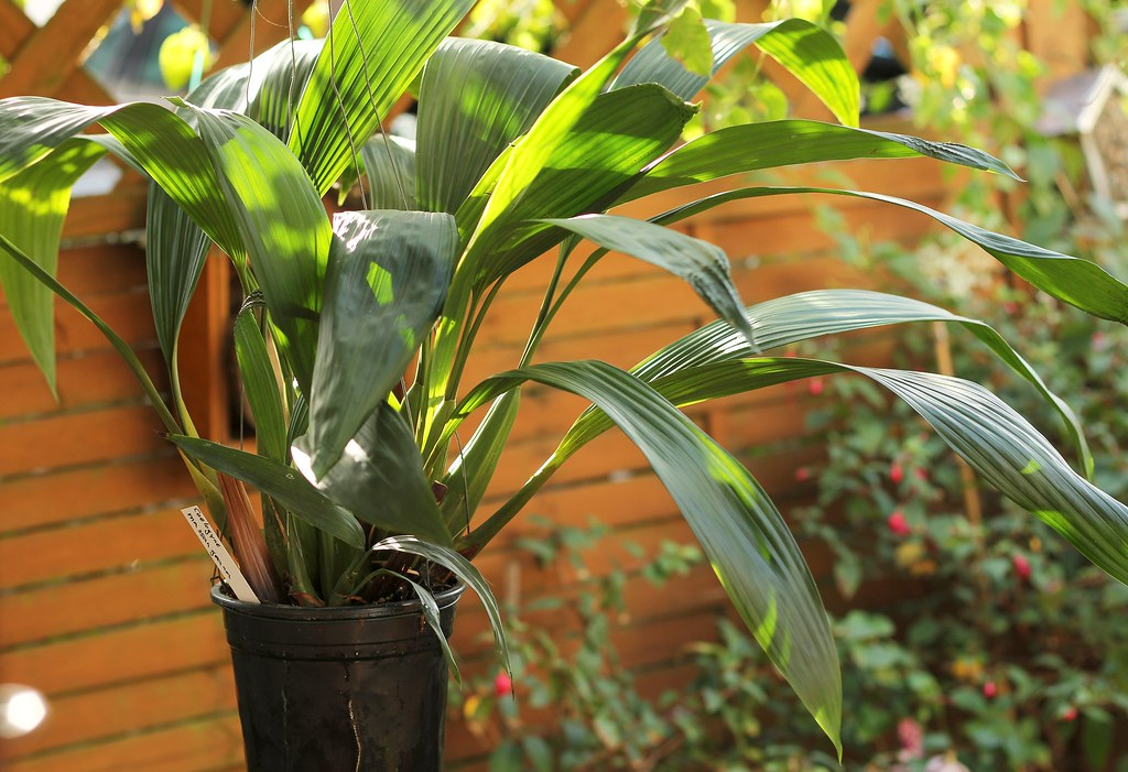 What Is Credit >> Coelogyne massangeana | Oktober 2013 Canon EOS 60D EF 50mm ...