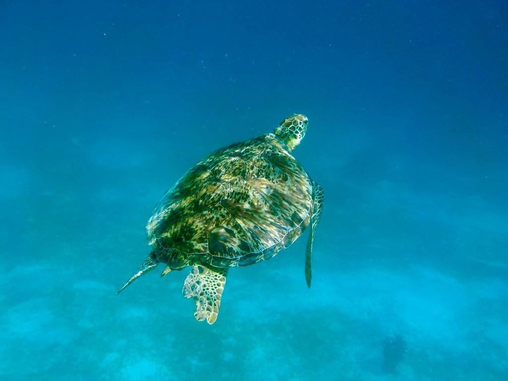 Nadar con tortugas en Filipinas