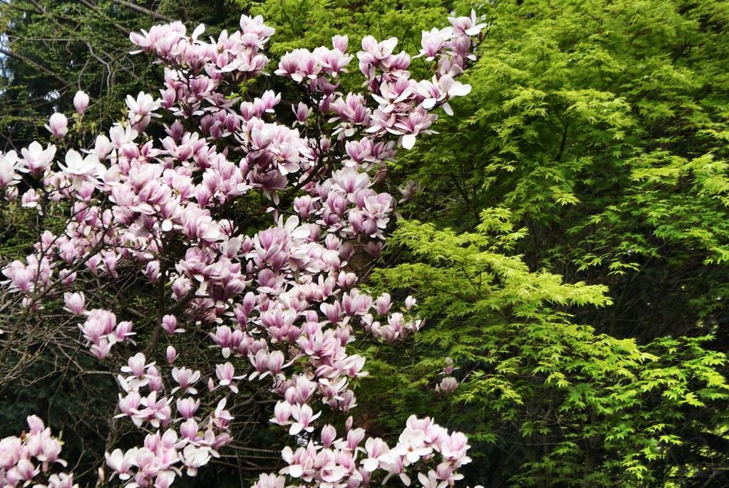 Le rose tendre du Magnolia en fleur contre le vert-jaune de l'érable au jardin japonais de Wroclaw au printemps.