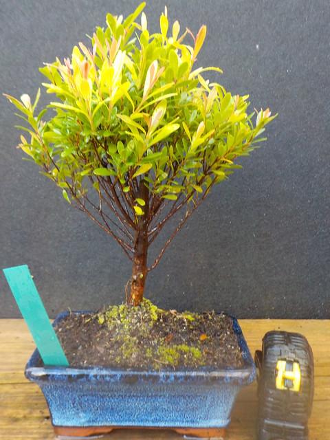 Bonsai syzygium mirto cinese h 29 cm visita il negozio for Bonsai da interno
