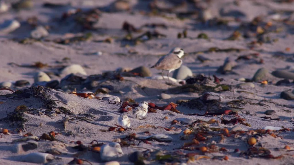 B-roll for media use: Western snowy plover male with chicks