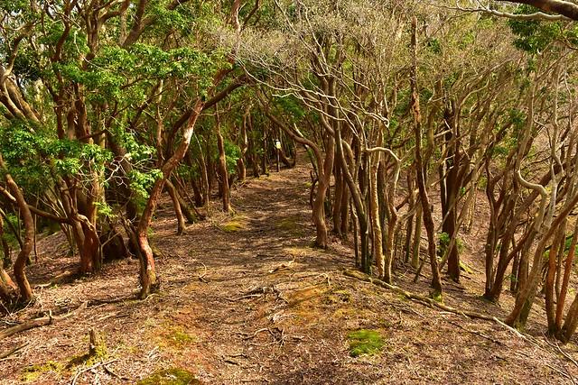 伊豆山稜線歩道 樹のトンネル