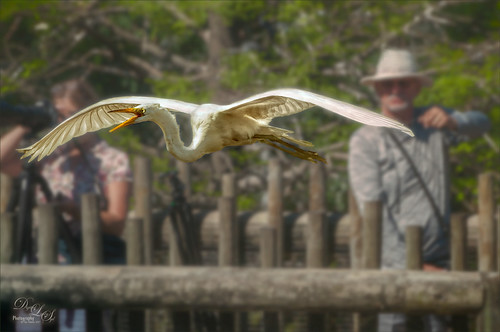 Image of Snowy Egret flying at the St. Augustine Alligator Farm Rookery