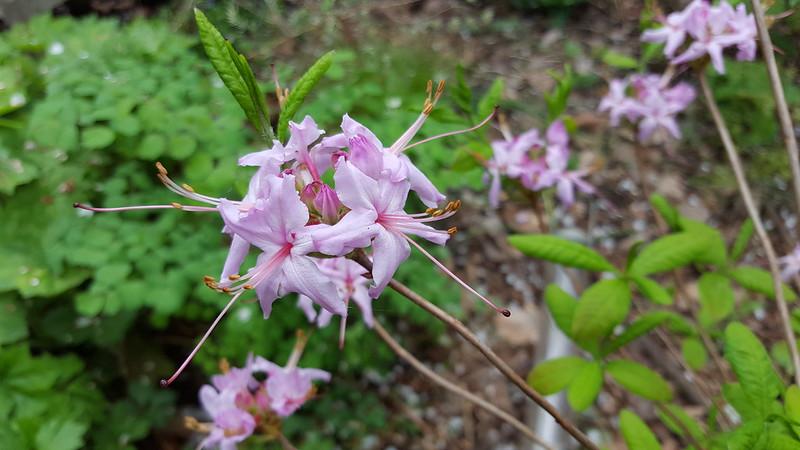 Rhododendron periclymenoides, pinxterbloom azalea