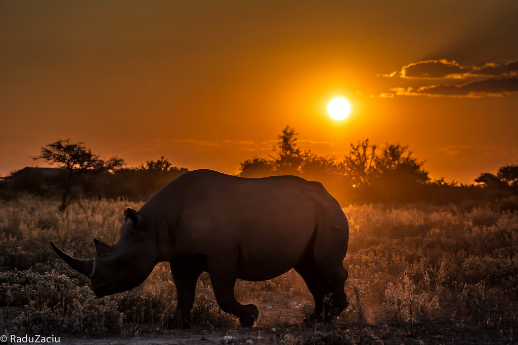 Rhino At Sunset This Rhino Was Moving Really Fast
