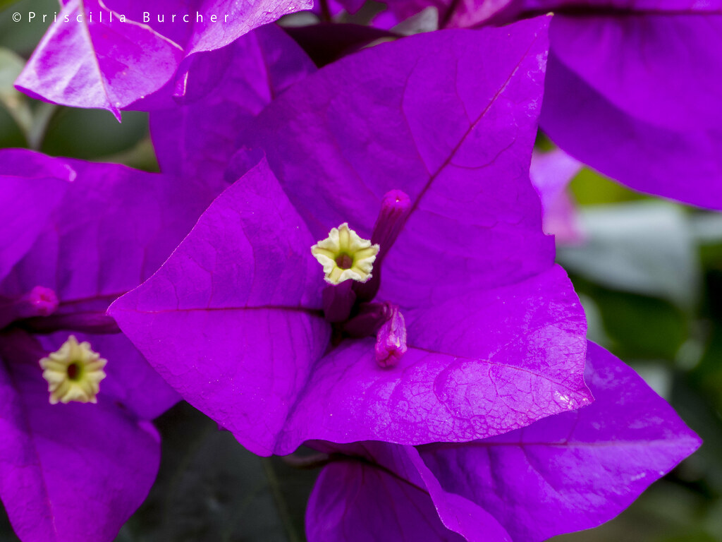 Bougainvillea Glabra Paperflower Veranera Bougainville Flickr