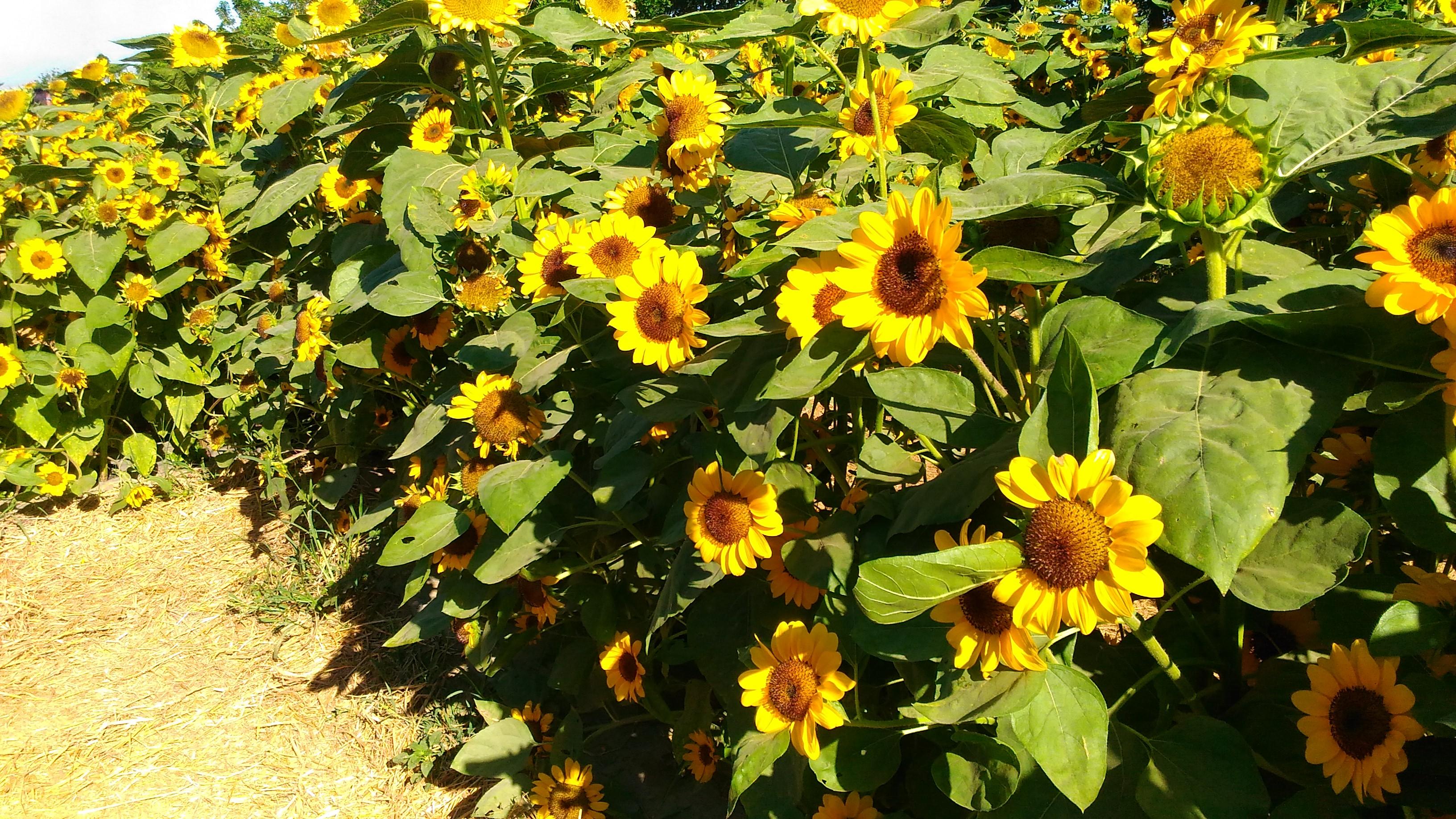 sunflower maze_2017_8
