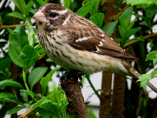 grosbeak