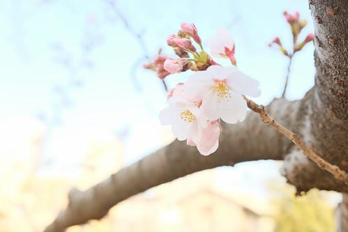 Sakura Tokyo 2017 04