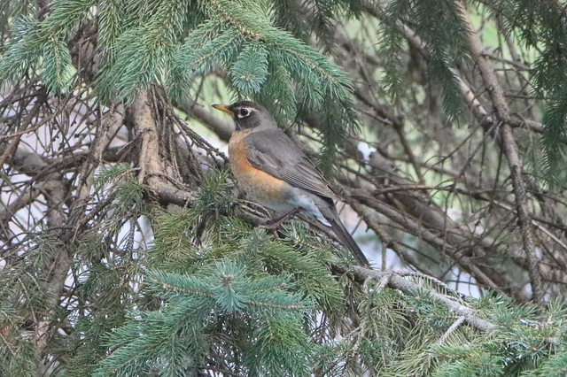robin perched on a pine branch facing left