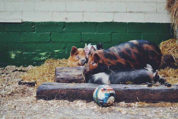Pigs Farmer Palmers