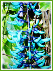 Beautiful pendant clusters of claw-shaped blooms of Strongylodon macrobotrys (Jade Vine, Emerald Vine/Creeper, Turquoise Jade Vine), 21 April 2017