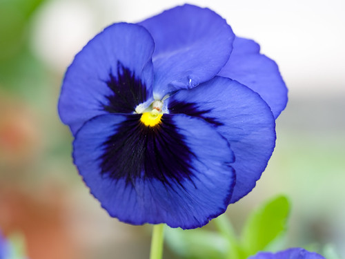Blue pansy | by James E. Petts