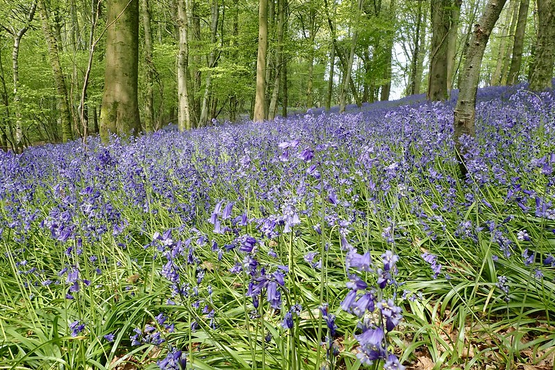 Bluebell Day- MTB FoD