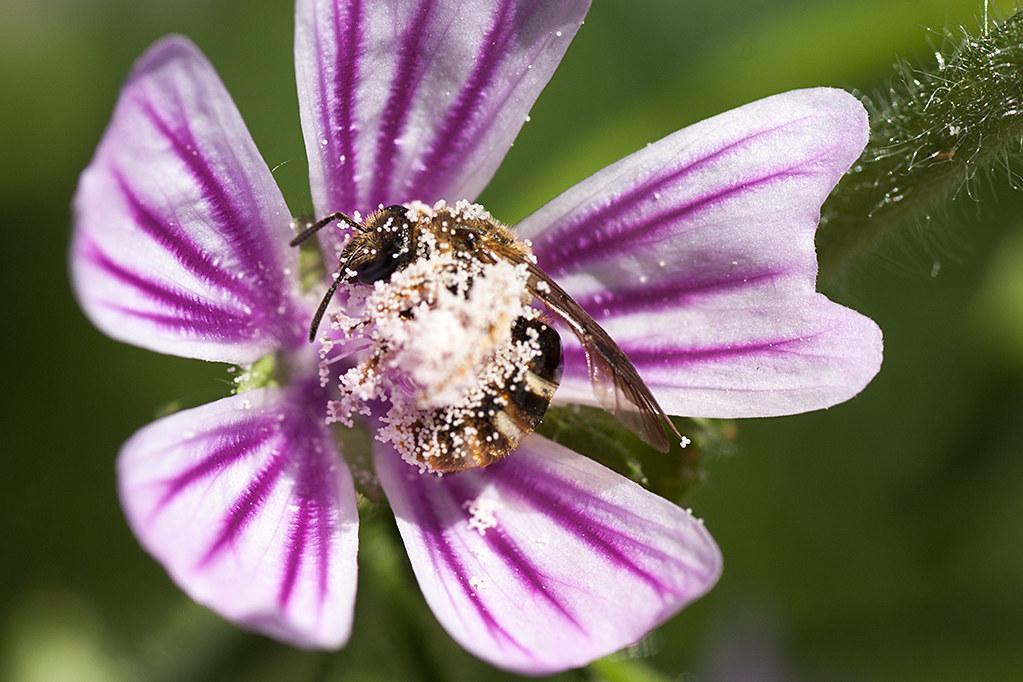 Baño de polen
