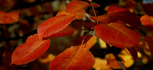 Pyrus leaves | by Teo_M
