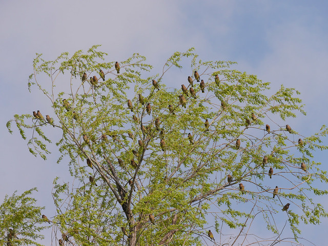 Cedar Waxwings in Willow Tree - 3