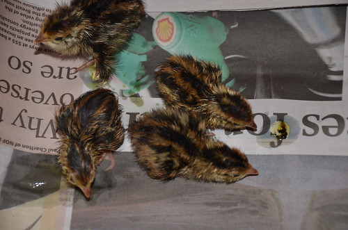 quail chicks Apr 17 (4)