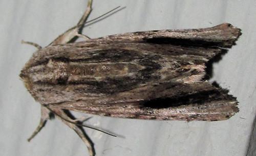 Spodoptera eridania_6832_dark