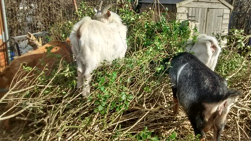 goats and privet Mar 17 (1)