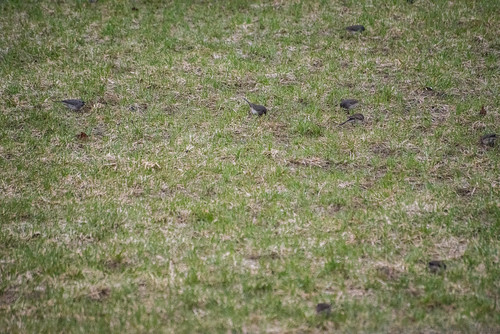 Birds on a Lawn | by Stephen Downes