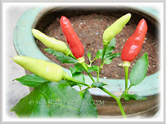 Capsicum frutescens cv. Bird's Eye (Chilli Padi, Bird Chilli, Bird's Eye, Tabasco Pepper, Red/Bird Pepper, Thai Chili), soon to be added to our dishes, 22 March 2013