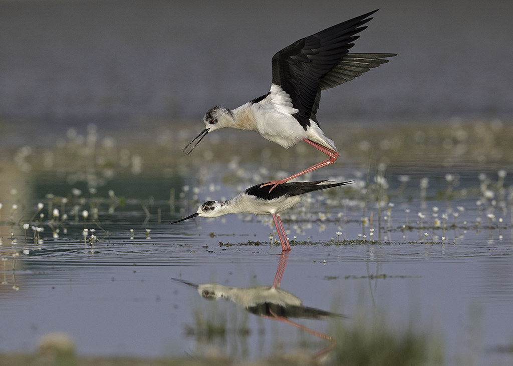 Black Winged Stilt.    Himantopus himantopus