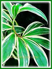 Marvellous variegated leaves of Costus speciosus 'Variegatus' (Variegated Crepe Ginger, Variegated Spiral Ginger/Flag), 9 Nov 2011