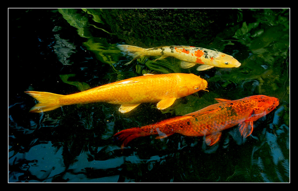 Koi fish in chicago 39 s lincoln park conservatory visit to for Fishing in chicago
