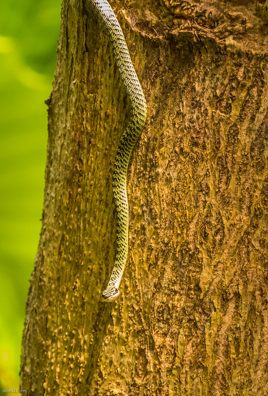 Golden Tree Snake, Thailand
