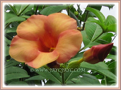 Fabulous flower and promising bud of Allamanda cathartica cv. Indonesia Sunset (Peach-coloured Allamanda), 27 Oct 2009