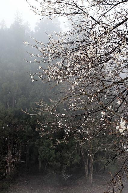 霧中の梅_201704