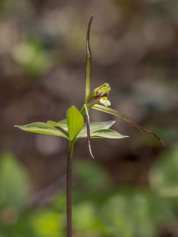 Large Whorled Pogonia